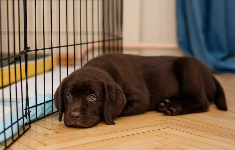 Puppy Next To Crate