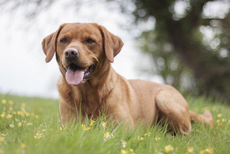 Red Fox Lab Dog