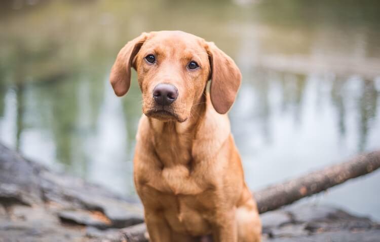 Red Fox Labrador Dog
