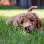 Young Goldendoodle Puppy