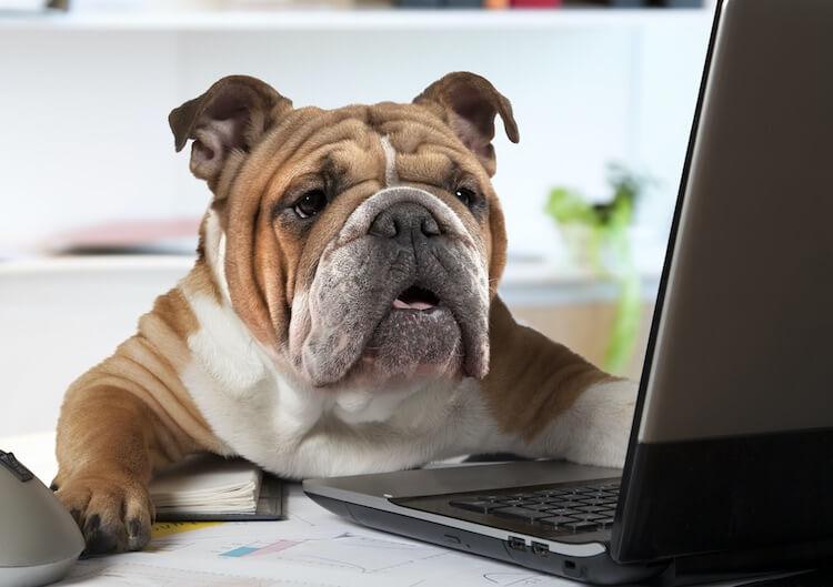Bulldog Using A Computer