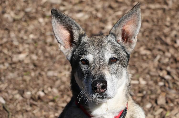 German Shepherd Wolf Dog