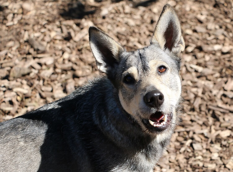 German Shepherd Wolf Mix Appearance