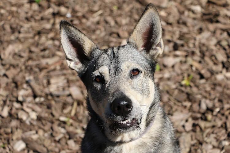 German Shepherd Wolf Mix Portrait