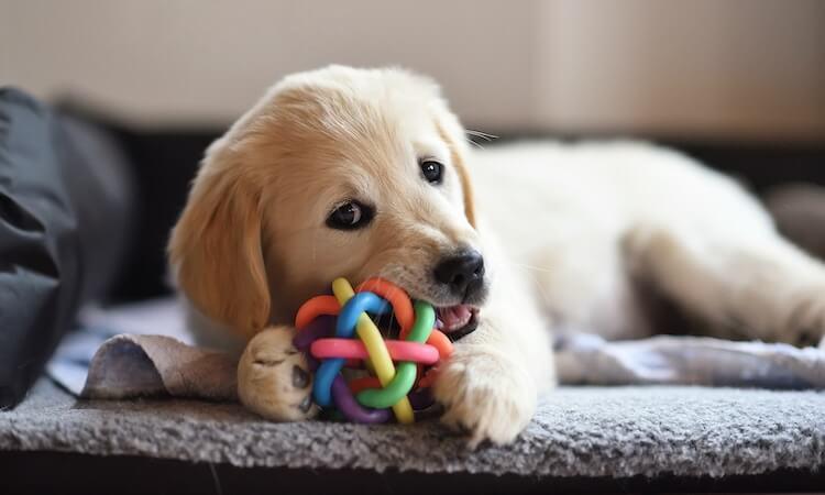 Golden Retriever Chewing