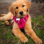 Golden Retriever Down Stay Command