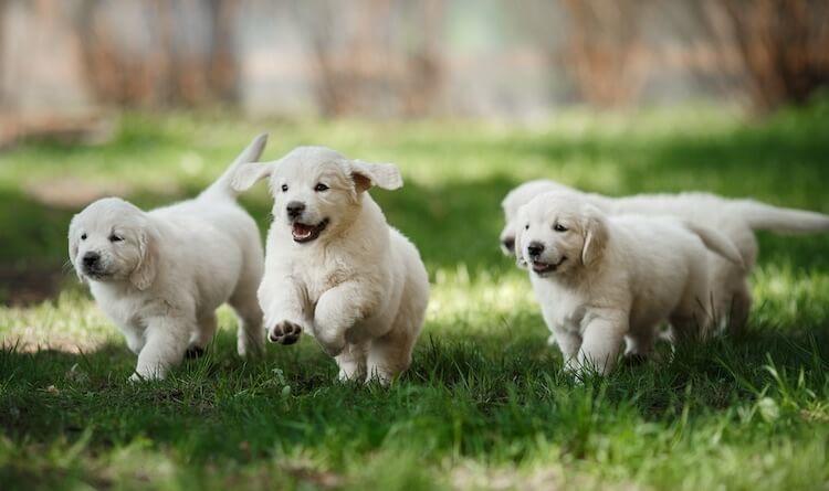 Golden Retriever PuppIes Running