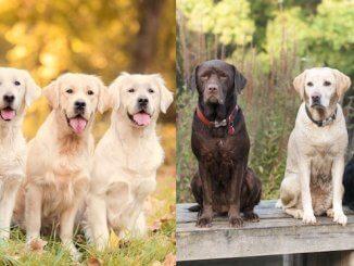 Golden Retriever vs Labrador Dogs