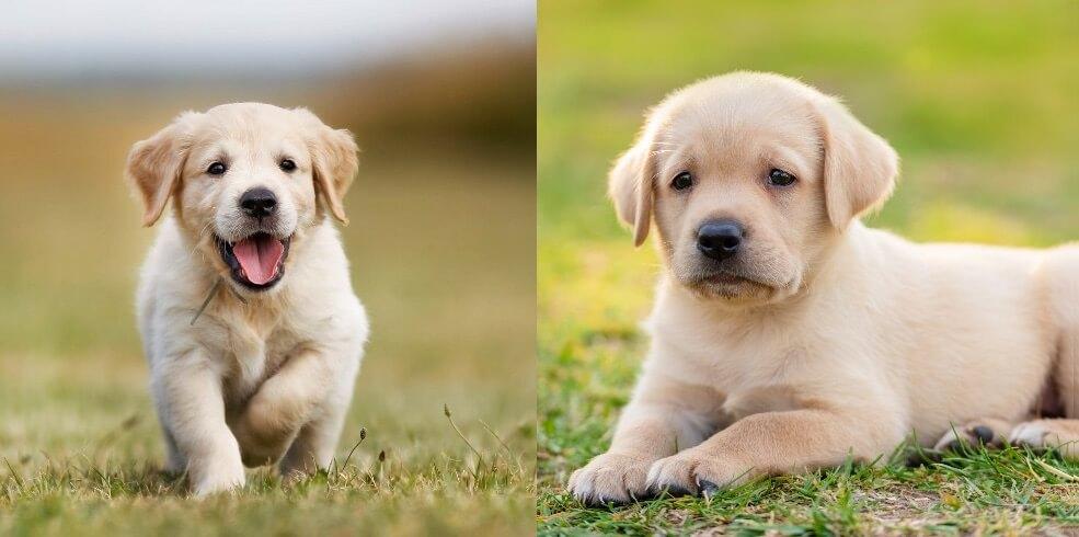 Golden Retriever vs Labrador Puppies