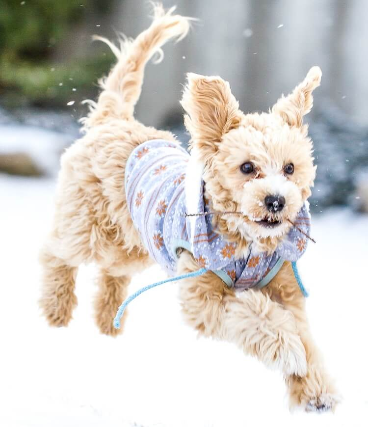 Maltipoo Dog Playing In Snow
