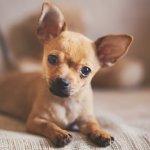 Pitbull Chihuahua Mix Puppy