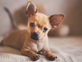 Pitbull Chihuahua Mix Puppy