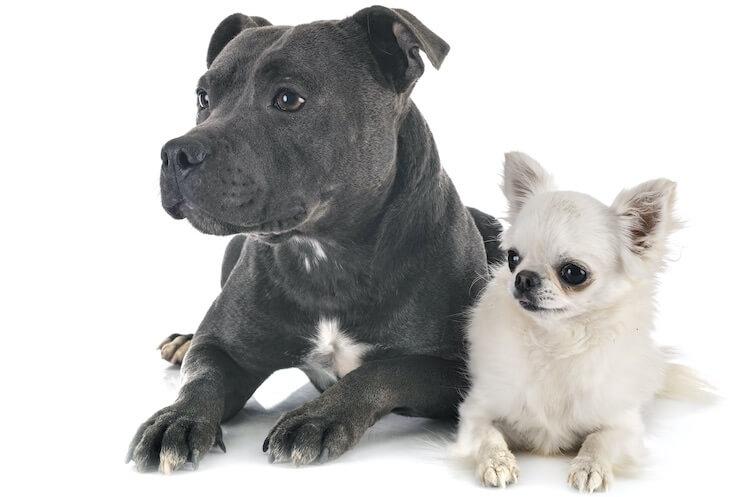 Pitbull and Chihuahua mix