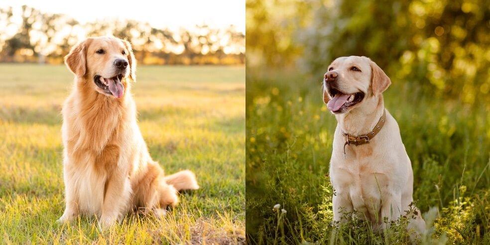 Small Golden Retriever Dog