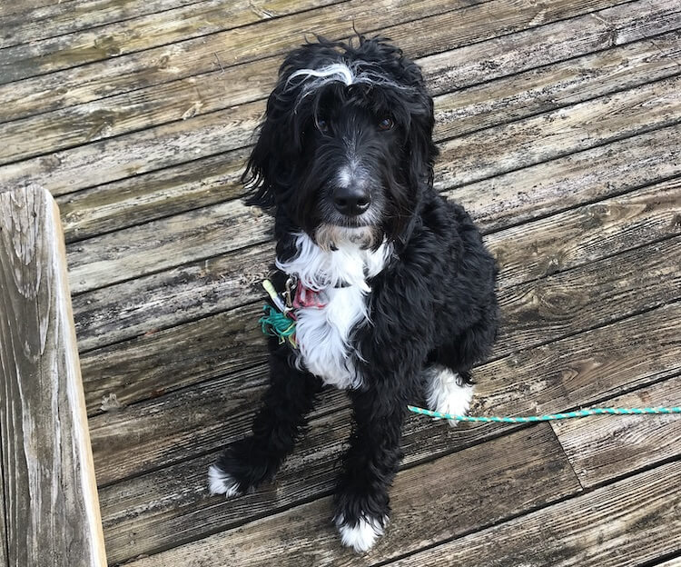 Young Bernedoodle Dog