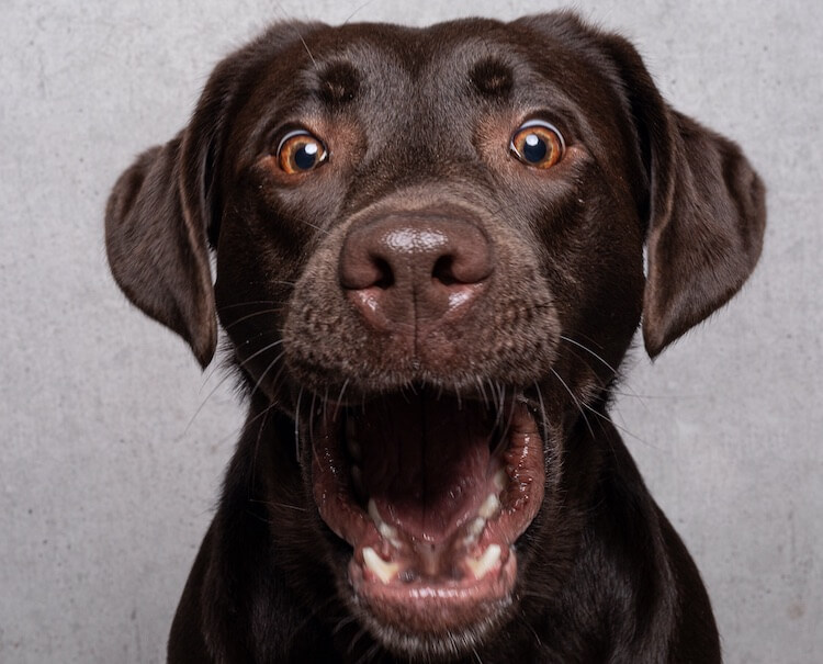 Funny Chocolate Lab Face