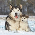 Giant Alaskan Malamute and Puppy