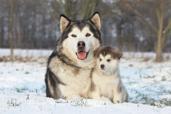 Giant Alaskan Malamute and Puppy