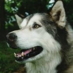 Portrait Of A Giant Alaskan Malamute