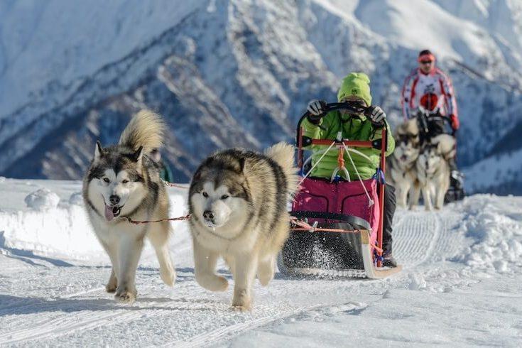 Two Alaskan Malamute Dogs Pulling A Sled