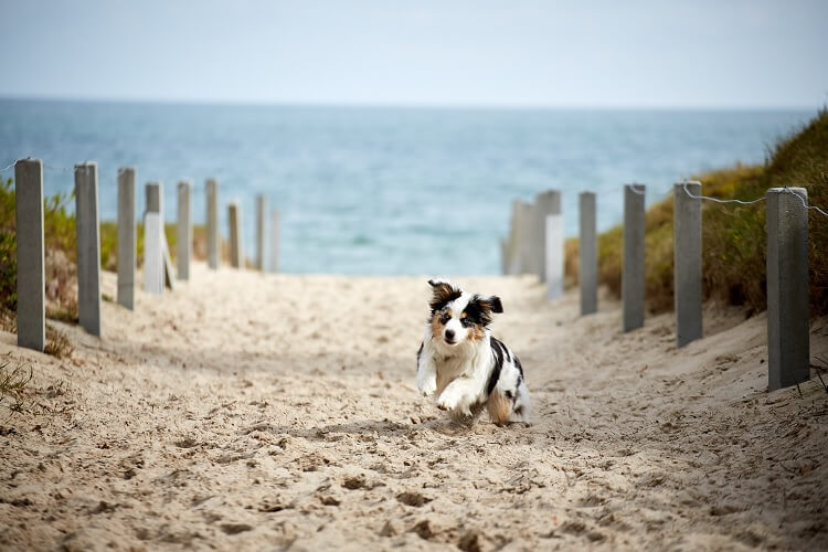 A Mini Australian Shepherd At The Beach