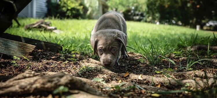 A Silver Lab Puppy
