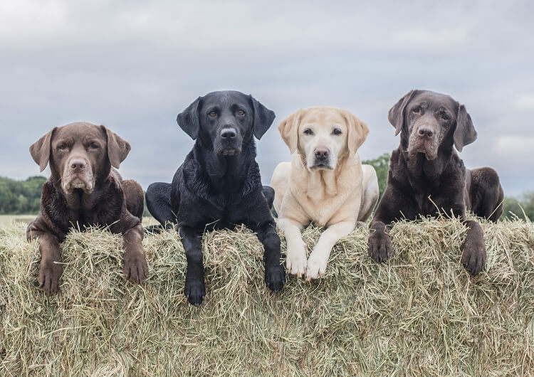 All Lab Colors