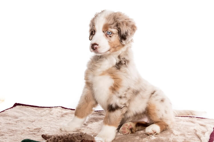 Australian Shepherd Mini Slider