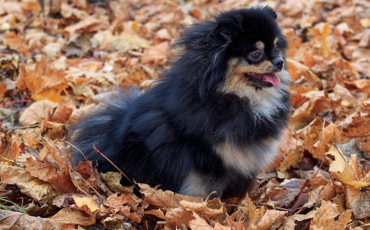 Black & Tan Pomeranian