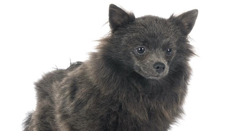 Blue Pomeranian