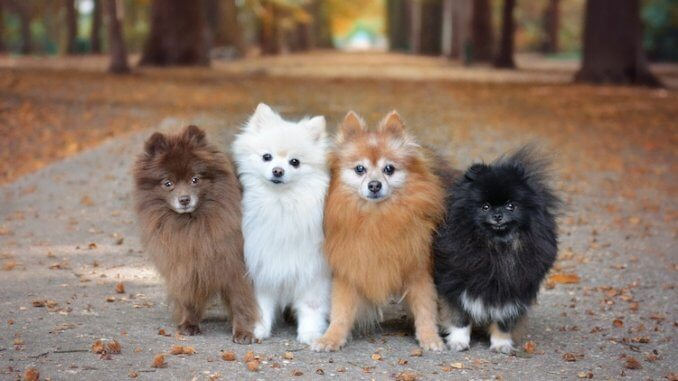 Pomeranian Colors