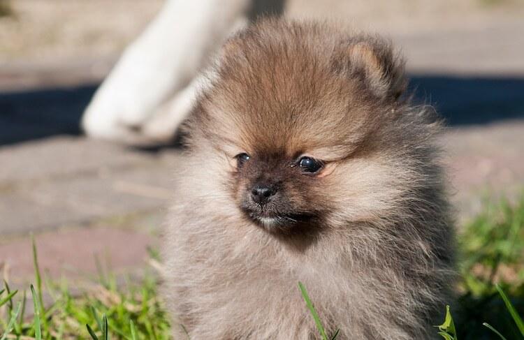 Wolf Sable Pomeranian