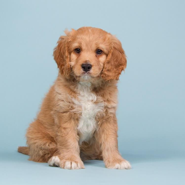 A Cavapoo Puppy
