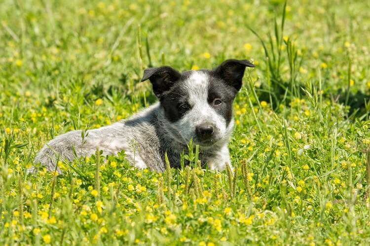 Australian Shepherd Blue Heeler Mix Puppy