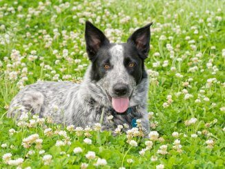 Australian Shepherd Blue Heeler Mix What To Know Before Buying Cover