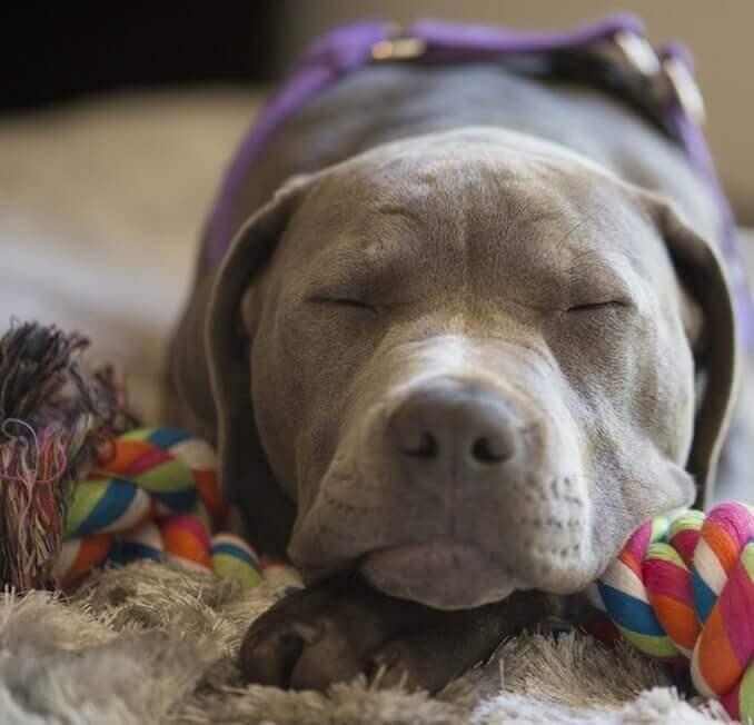 Blue Nose Pit Asleep
