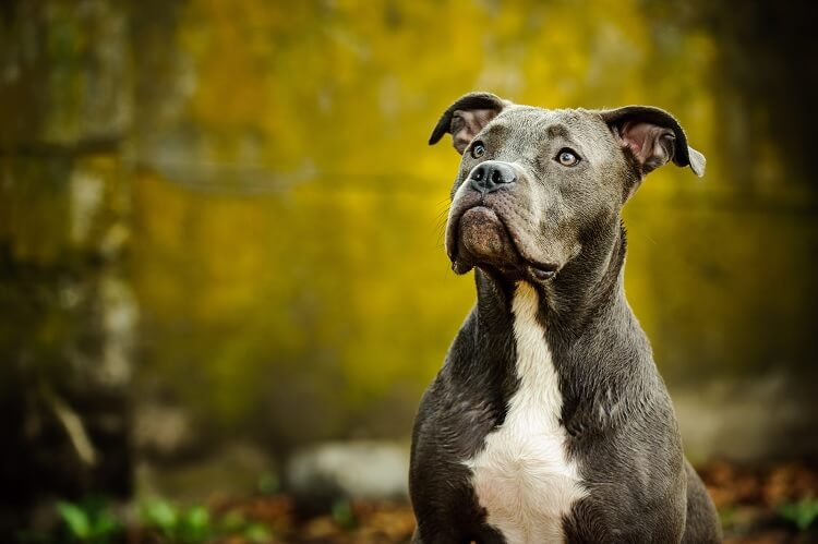 A Blue Nose Pitbull