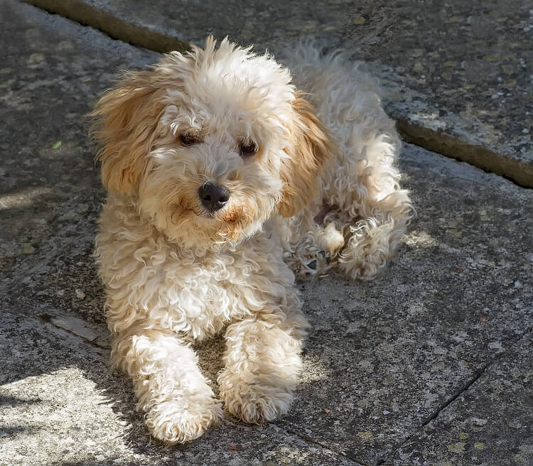 Cavapoo Outside Playing
