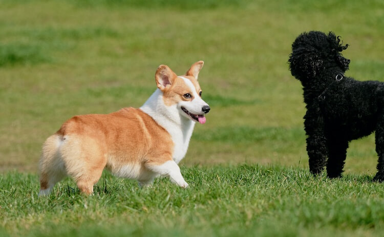 Corgi and Poodle