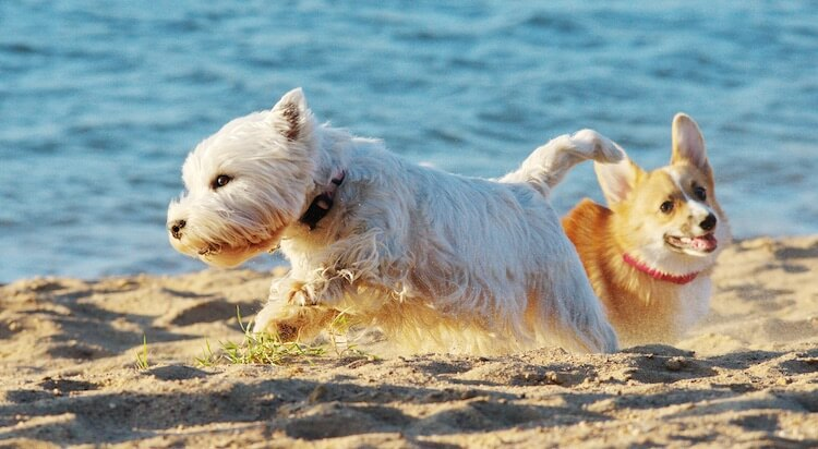 Corgi x West Highland White Terrier