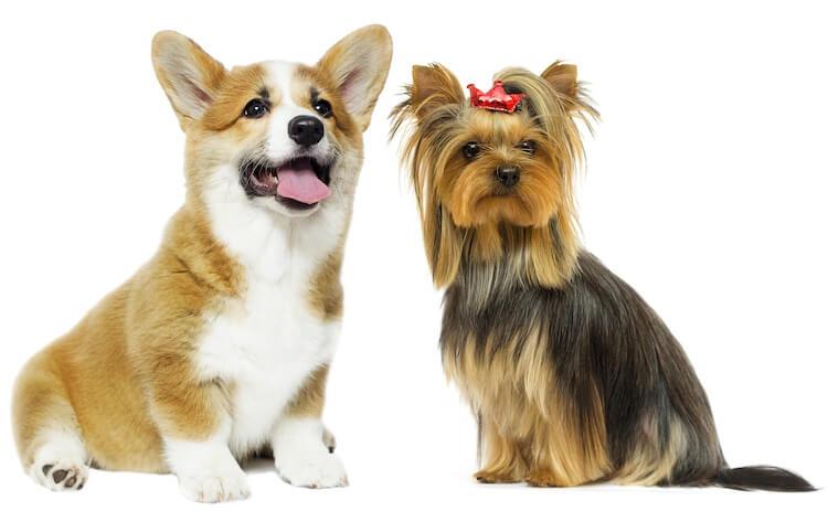 Corgi x Yorkshire Terrier