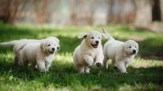 Mini Golden Retriever Breed Profile Size, Price and More… Cover