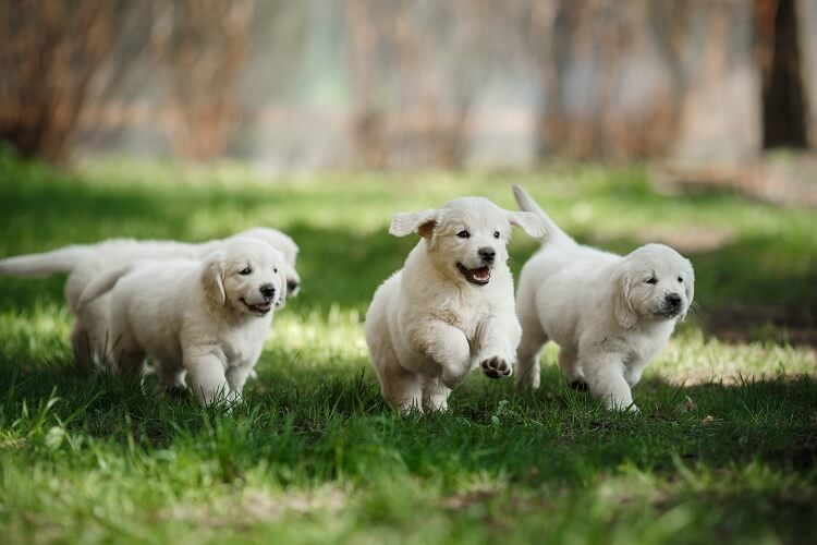 Mini Golden Retrievers