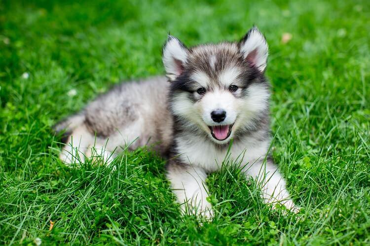 Mini Huskies