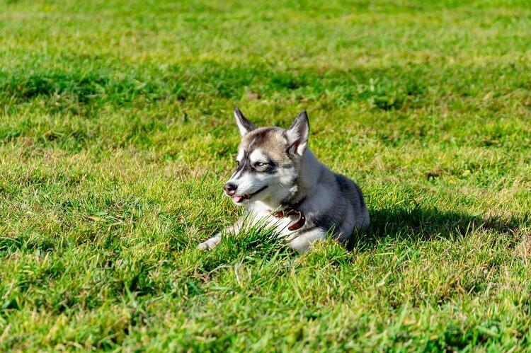 Mini Husky In Field