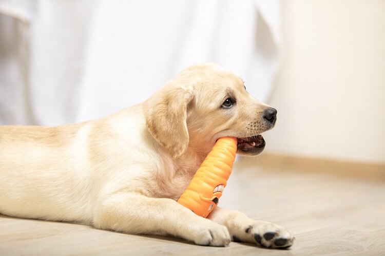 Mini Retriever Chewing