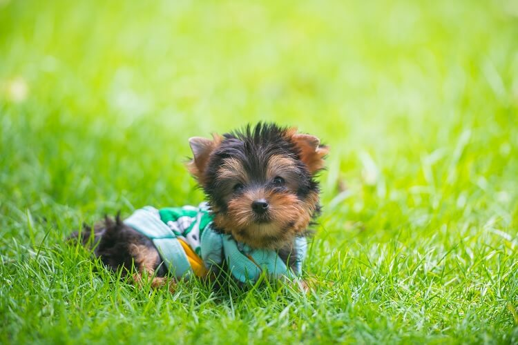 Mini Yorkie Terrier