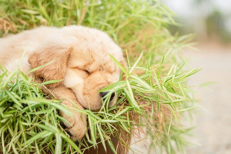 Miniature Golden Retriever Sleeping