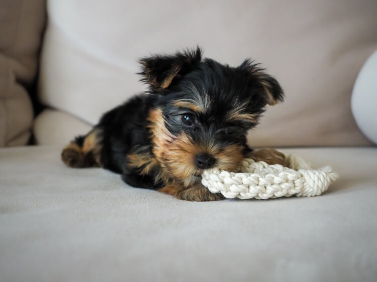 Miniature Yorkie Chewing Toy