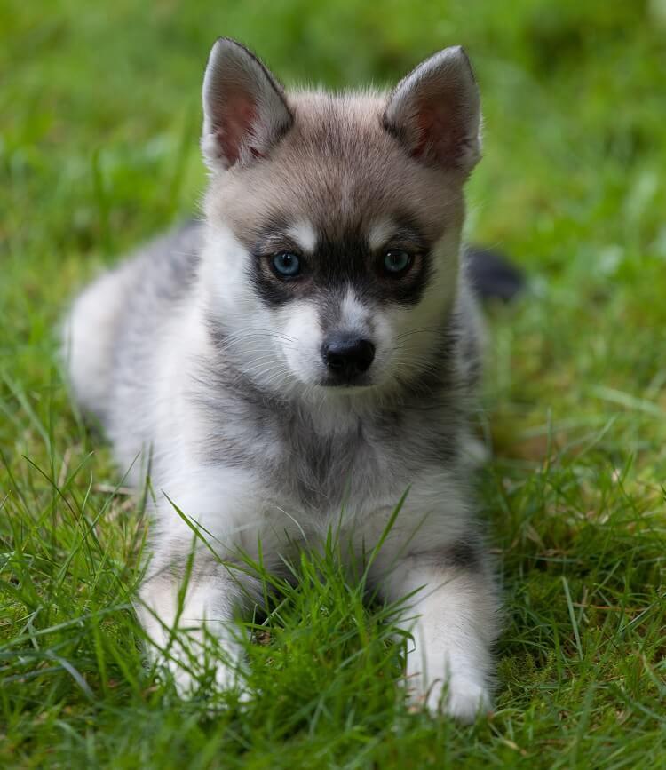 Puppy Miniature Husky